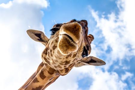 Close-up of a giraffe head during a safari trip South Africa Foto de archivo
