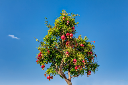 Pomegranates tree at Bratislava castle courtyard in Slovakia Stock Photo