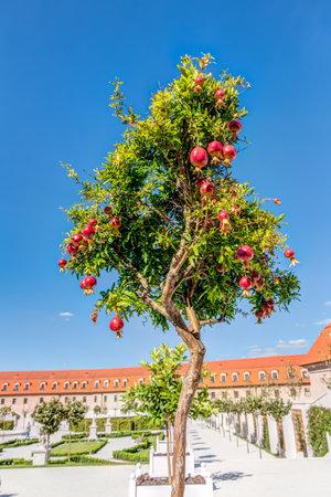 Pomegranates tree at Bratislava castle courtyard in Slovakia Redakční