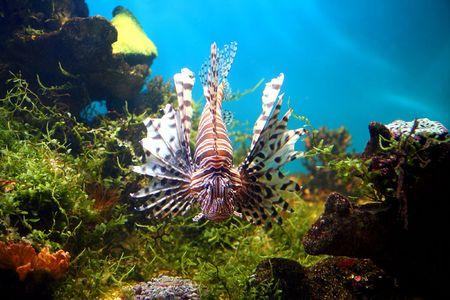 lionfish underwater in tropical aquarium Stock Photo - 3254534