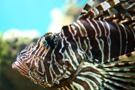 lionfish close-up underwater in tropical aquarium Stock Photo - 3254535