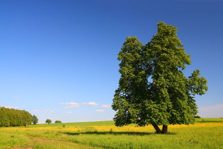 limetree: summer landscape with single lime-tree