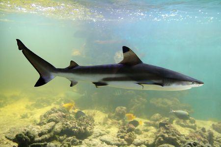 swimming shark underwater