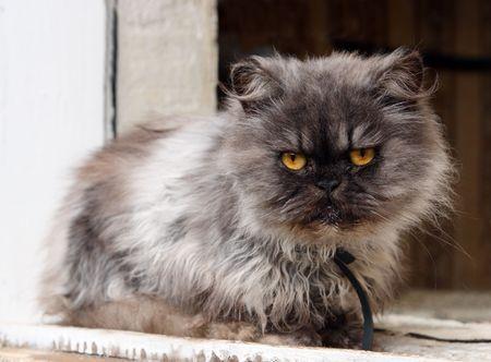 gray shaggy persian cat on window photo