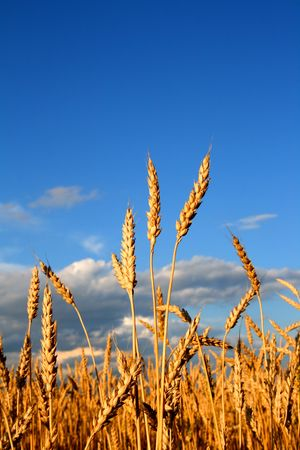 stems of the wheat in sunset light Stock Photo - 3404429