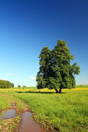 limetree: summer rural landscape with road and single lime-tree Stock Photo