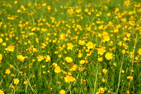 buttercups: summer meadow background with yellow buttercups Stock Photo