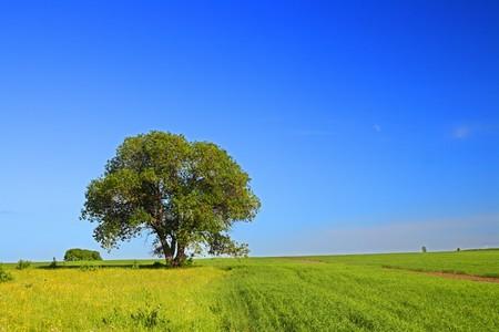 limetree: summer landscape with single tree Stock Photo