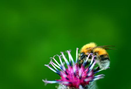 bumble-bee on thistle flower on green defocused background photo