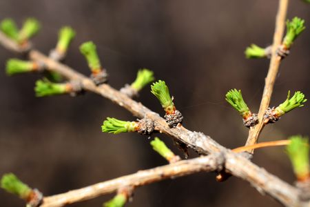 pineal: branch of larch with blooming buds in spring Stock Photo