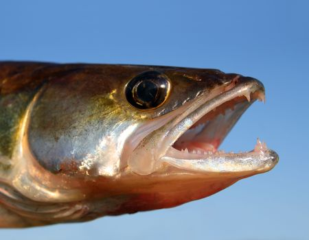 zander fish head with open mouth on sky background photo