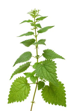 high nettle plant isolated on white Stock Photo - 5413013