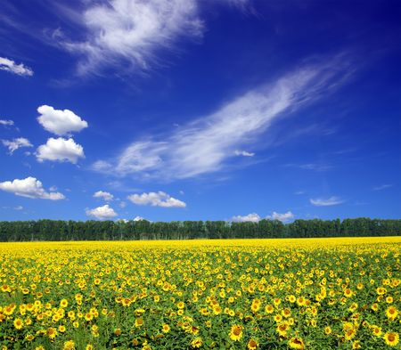 sunflowers field under blue sky with clouds photo