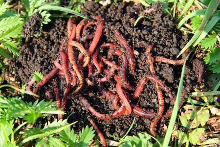 wiggler: many red worms in dirt - bait for fishing
