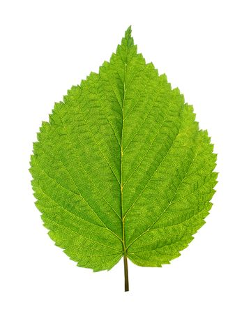 green leaf of birch tree isolated on white Stock Photo - 5642050