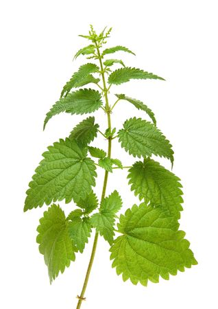 high green nettle plant isolated on white photo