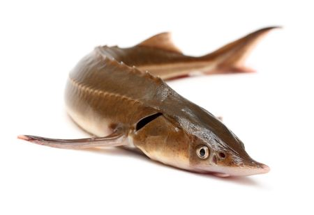 sturgeon: russian sturgeon fish isolated on white