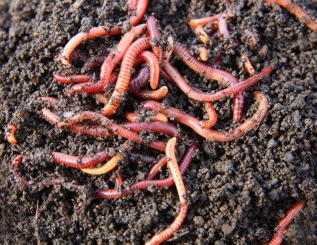 earthworm: red worms in compost - bait for fishing