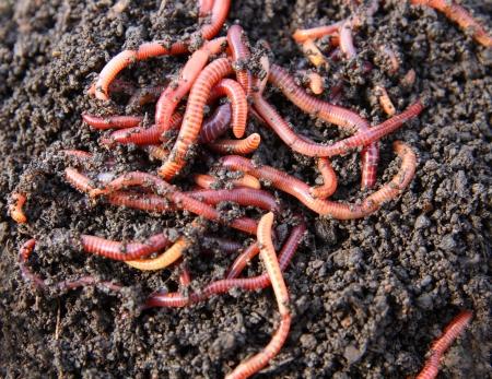 lombriz de tierra: rojo gusanos en compost - cebo para la pesca