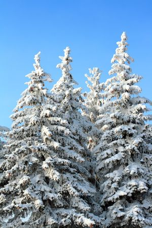 fir trees with snow on branches under blue sky photo