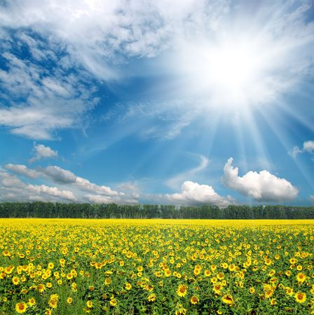 campo de flores: campo de girasoles bajo el cielo azul con nubes Foto de archivo