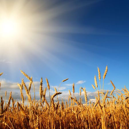 stems of wheat in sun light under blue sky photo