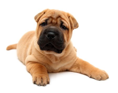 shar pei puppy dog isolated on white photo
