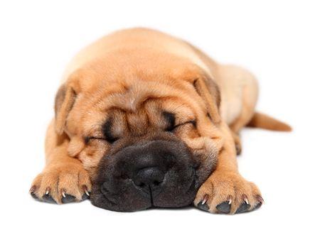 tete chien: Shar pei puppy chien sleeping isol� sur blanc