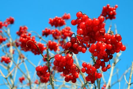 bright red snowball tree berryes bunch