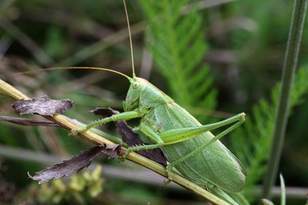macro shot of big green grasshopper on grass photo