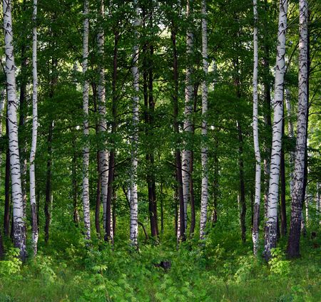 deciduous: nice summer birch forest landscape in Russia