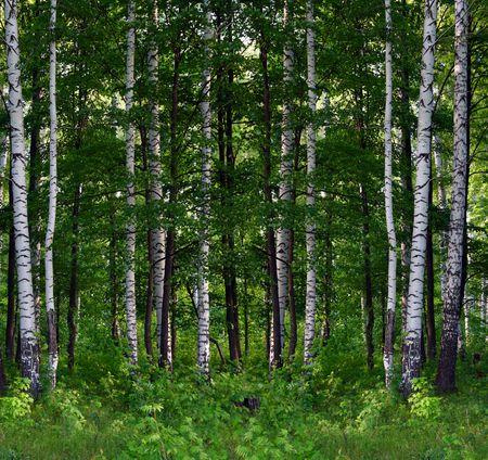 white birch tree: nice summer birch forest landscape in Russia