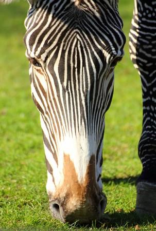 dobbin: close-up view on head of grazing zebra