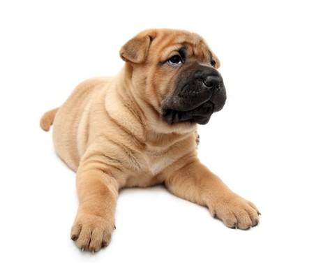 shar pei puppy dog isolated on white photo