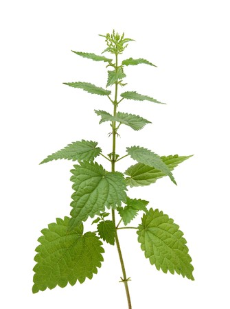 high nettle plant isolated on white photo