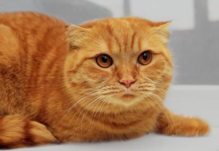 scottish fold purebred red cat on window portrait photo