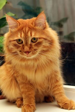 bobtail  red cat sitting on window portrait photo