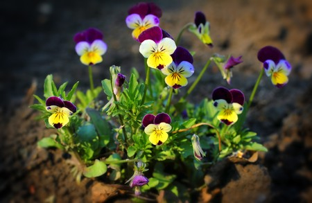 small pansy flowers - viola tricolor close-up photo