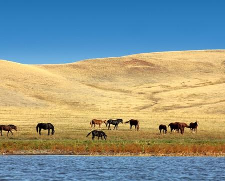 grazing horses on yellow hills near lake photo