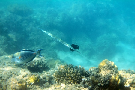 surgeonfish: cornet-fish and surgeon-fish swiming under water among coral Stock Photo