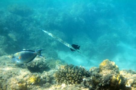 triggerfish: cornet-fish and surgeon-fish swiming under water among coral Stock Photo