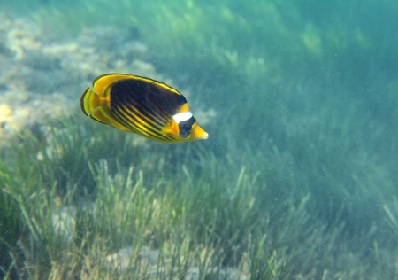chaetodontidae: butterfly-fish swiming under water over green grass