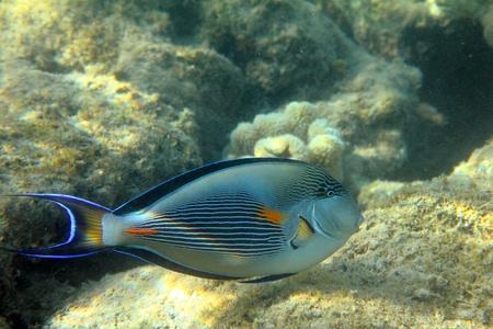 sohal: surgeon-fish close-up swiming under water among coral Stock Photo