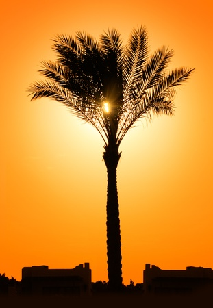 silhouette of palm tree against setting sun Stock Photo - 8590869