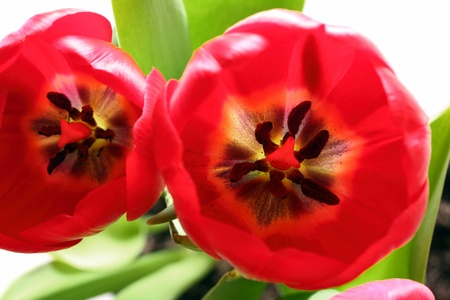 pistil: close-up view on red tulips with stamens and pistil