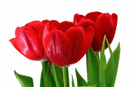 red head: bouquet of red tulips with drops close-up Stock Photo