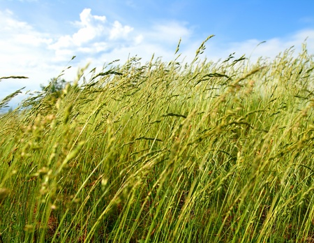 blowing wind: green grass under sky and wind blowing