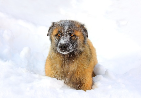 caucasian shepherd: Caucasian Shepherd dog in snow at winter Stock Photo