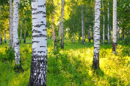 birch bark: scene in summer birch woods - Russia