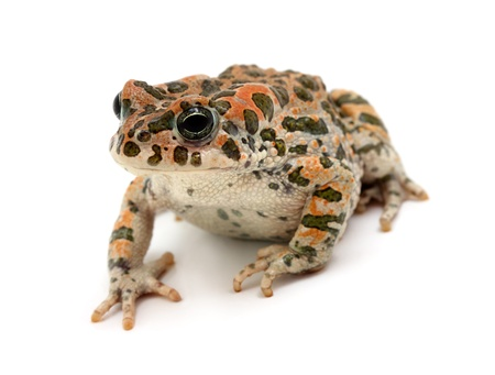 exotic frog: spotted toad sitting - isolated on white background Stock Photo